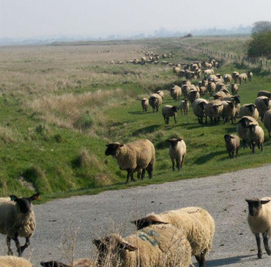 Le Mont-Saint-Michel-moutons de prés salés